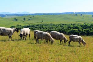 牧場の羊たち-北海道根釧台地の牧場風景の写真素材 [FYI02672266]