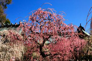 3月 しだれ梅の結城神社の写真素材 [FYI02672301]