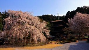 4月 枝垂桜咲く徳源院 滋賀の春景色の写真素材 [FYI02672312]