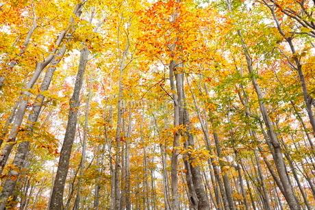 10月 安比高原の紅葉のブナ二次林の写真素材 [FYI02672323]