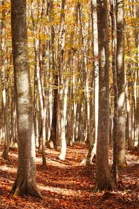 10月 安比高原の紅葉のブナ二次林の写真素材 [FYI02672324]