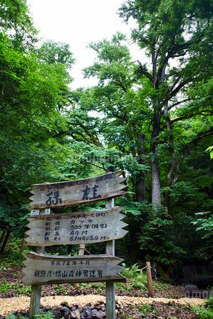 縁桂(森の巨人たち100選)の写真素材 [FYI02672346]