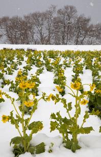 雪中に咲く菜の花の写真素材 [FYI02672362]