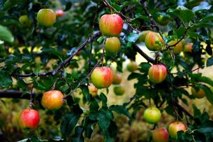 10月 青森のリンゴの写真素材 [FYI02672389]