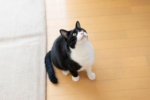 飼い猫の写真素材 [FYI02672395]