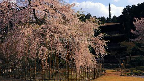 4月 枝垂桜咲く徳源院 滋賀の春景色の写真素材 [FYI02672404]