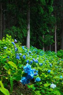 21世紀の森 アジサイの写真素材 [FYI02672417]