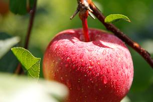 りんごの写真素材 [FYI02672434]