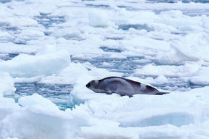 流氷とクラカケアザラシの写真素材 [FYI02672436]