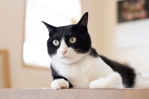 飼い猫の写真素材 [FYI02672492]
