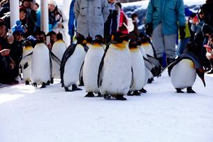 2月 ペンギンパレード -北海道の冬-の写真素材 [FYI02672494]