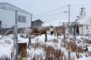 猟で狩った皮を干している風景の写真素材 [FYI02672537]