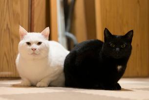 床の上でカメラを見つめる白猫と黒猫の写真素材 [FYI02672600]