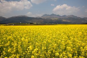 菜の花満開の羅平(中国雲南省)の写真素材 [FYI02672604]