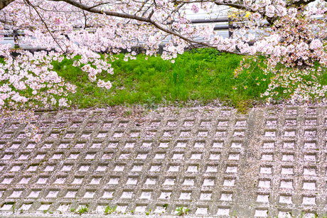桜の花びらが降り積もった土手(高田千本桜)の写真素材 [FYI02672632]