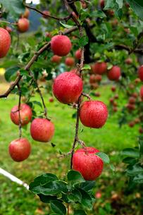 10月 青森のリンゴの写真素材 [FYI02672683]