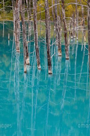 青い池に映る枯木林 北海道美瑛町の写真素材 [FYI02672698]