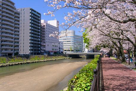 桜の甲突川河畔の写真素材 [FYI02672730]