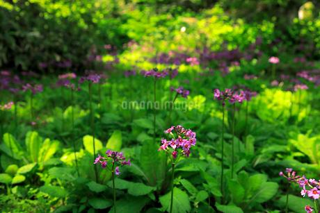 6月 ノンノの森  北海道セラピーの森の写真素材 [FYI02672740]