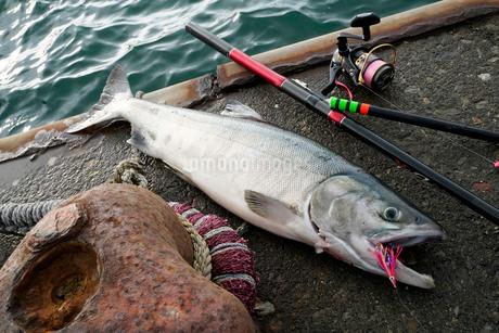 鮭釣りのイメージ写真の写真素材 [FYI02672755]