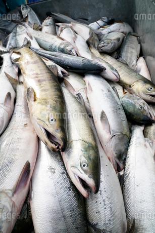 鮭の水揚げ風景上から見たの写真素材 [FYI02672777]