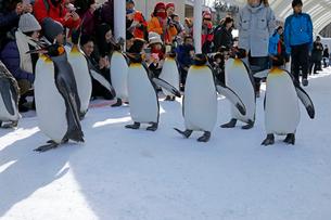 2月 ペンギンパレード -北海道の冬-の写真素材 [FYI02672796]