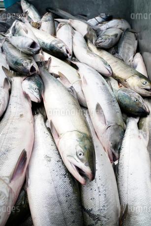鮭の水揚げ風景上から見たの写真素材 [FYI02672830]
