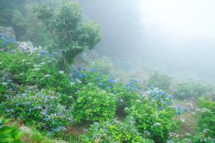 笠山観光農園あじさい園の写真素材 [FYI02672936]