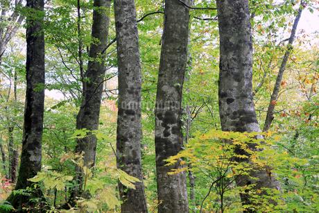 岳岱(だけだい)自然観察教育林のブナ林-世界遺産の白神山地-の写真素材 [FYI02672941]