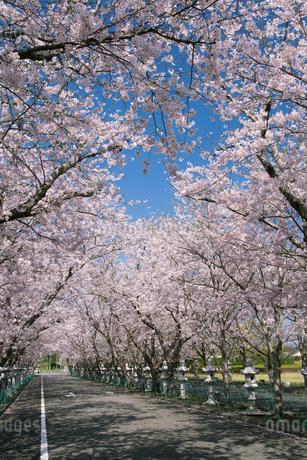 春の知覧特攻平和公園の桜並木の写真素材 [FYI02673026]