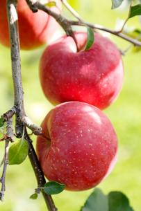 りんごの写真素材 [FYI02673077]