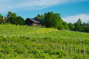 ふらのワイン工場のぶどう畑の写真素材 [FYI02673160]