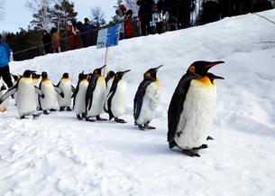 2月 ペンギンパレード -北海道の冬-の写真素材 [FYI02673172]