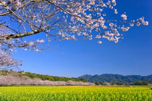 桜咲く西都原公園の写真素材 [FYI02673183]