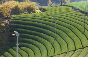 京都府 宇治茶の茶畑の写真素材 [FYI02673197]