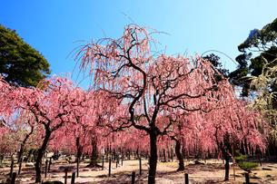 3月 しだれ梅の結城神社の写真素材 [FYI02673215]