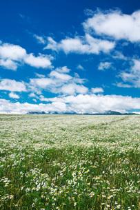 夕張山地と麦と白い花の写真素材 [FYI02673217]