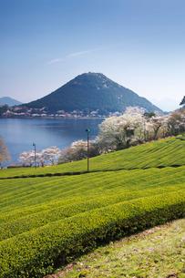 藺牟田池と茶畑と桜と飯盛山の写真素材 [FYI02673220]
