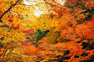 11月 紅葉の大矢田(おやだ)神社 -美濃の天然記念物-の写真素材 [FYI02673235]