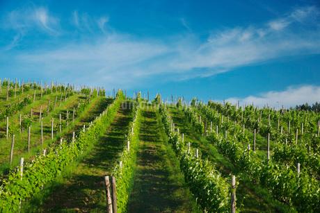 ふらのワイン工場のぶどう畑の写真素材 [FYI02673260]