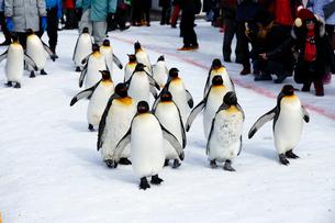 2月 ペンギンパレード -北海道の冬-の写真素材 [FYI02673265]