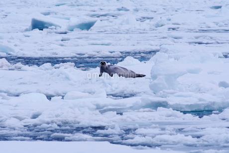 流氷とクラカケアザラシの写真素材 [FYI02673310]