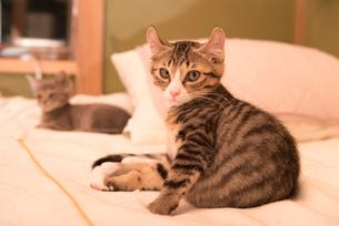 ベッドの上でリラックスする子猫の写真素材 [FYI02673387]