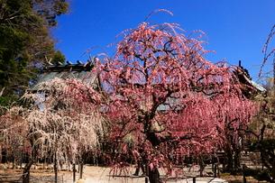 3月 しだれ梅の結城神社の写真素材 [FYI02673398]