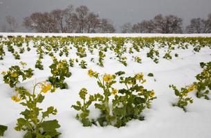 雪中に咲く菜の花の写真素材 [FYI02673416]