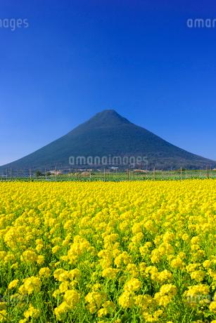 菜の花畑と開聞岳の写真素材 [FYI02673440]