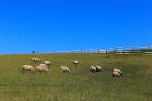牧場の羊たち-北海道根釧台地の牧場風景の写真素材 [FYI02673471]