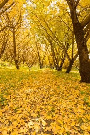 秋の千本銀杏の写真素材 [FYI02673484]