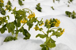 雪中に咲く菜の花の写真素材 [FYI02673493]