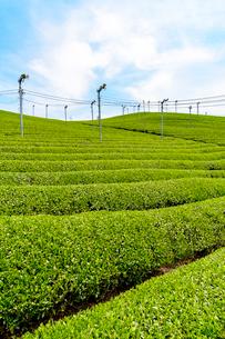日本五大銘茶産地・朝宮の茶畑(タテ写真)の写真素材 [FYI02673525]